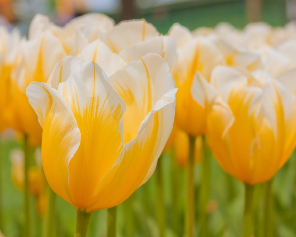 Tulip Time - yellow